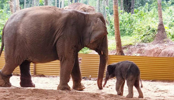 dharmasthala elephant delivers baby elephant-power tv news